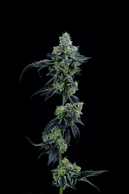 Thin Mint Girl Scout Cookies (Feminized)