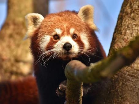 O panda vermelho não é apenas uma espécie, na verdade existem duas
