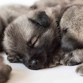164 Elkhound Puppies Aug 2018.JPG