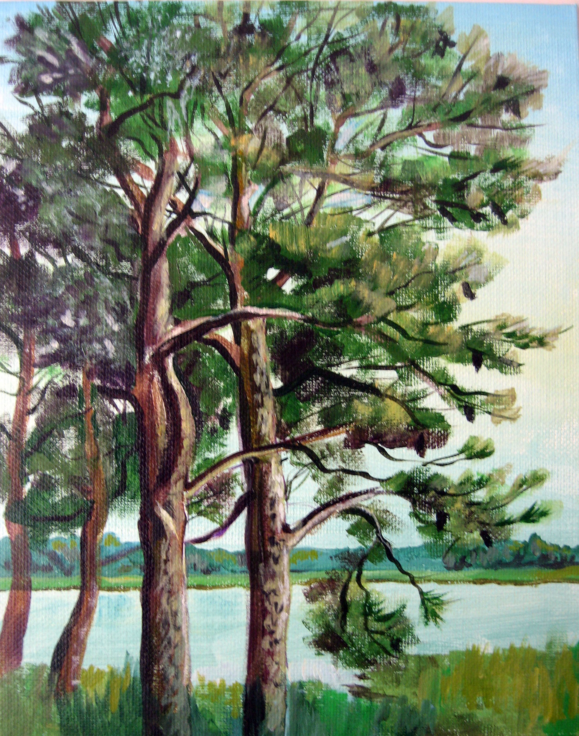 Chincoteague Pine