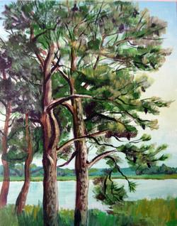 Chincoteague Pine