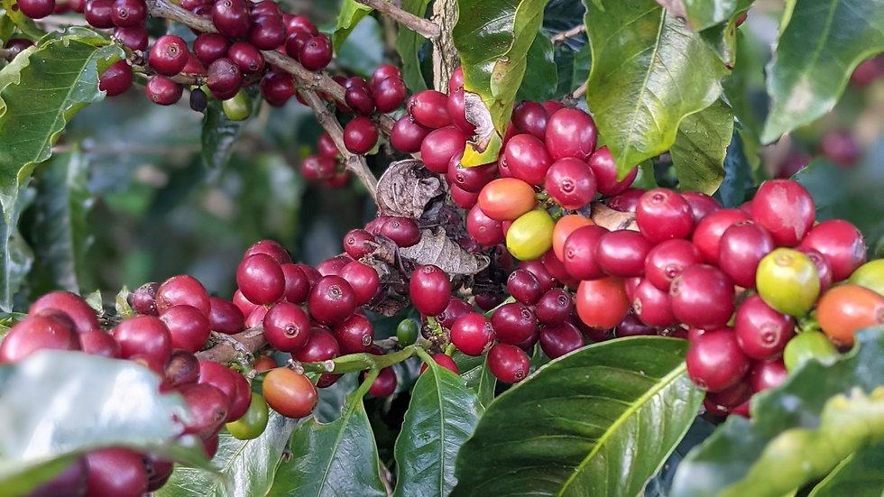Costa Rica Black Honey