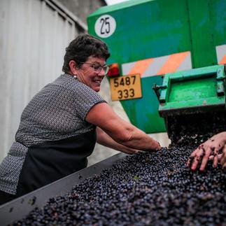 Triage des raisins - Brigitte