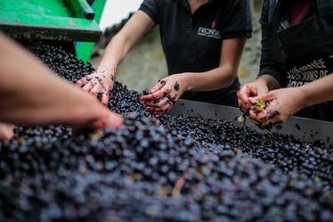 sorting berries
