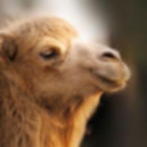 materialkunde-kamelhaar.jpg