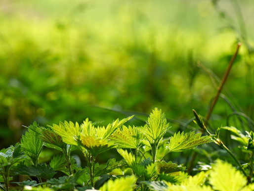 Nettles – Food and Medicine