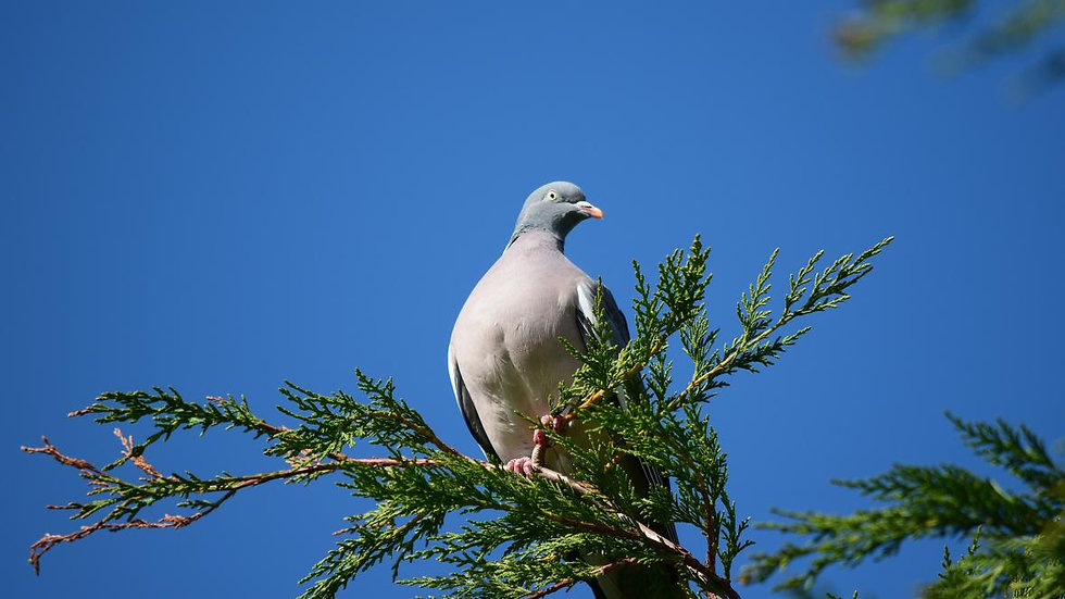Wood Pigeon Breast
