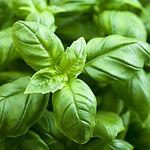 Basil-leaves1.jpg