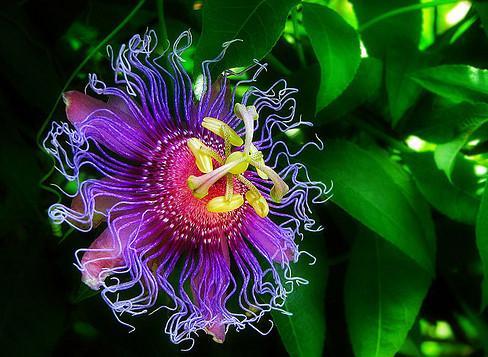 Passionflower_plant
