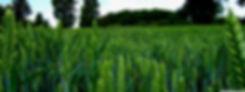 green_wheat_field_landscape-wallpaper-38