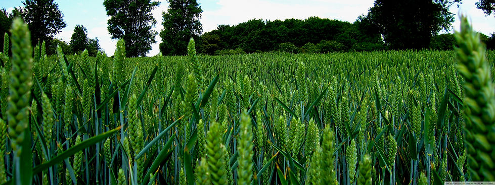 green_wheat_field_landscape-wallpaper-38