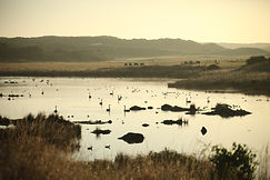 Black Swans at Yellow Rock Estuary, King Island