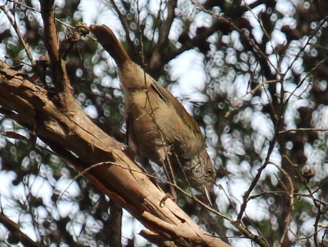 Dion Hobcroft King Island Bird Diary January 2016