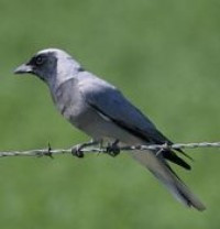 Black-faced Cuckoo-shrikes