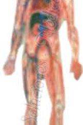 Sistema circulatorio modo. DCVQ7069