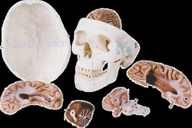 Cráneo y cerebro modelo. DCVQ7070