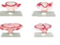 Desarrollo del embarazo 8 etapas modelo DCVQ7063