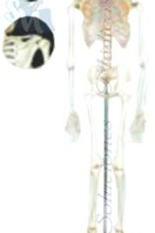 Esqueleto clásico modelo DCVQ7021