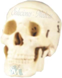 Cráneo adulto modelo. DCVQ7004