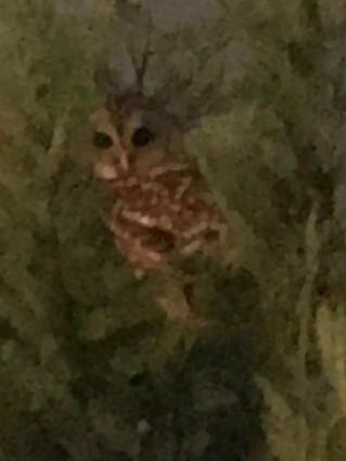 The Christmas Owl Encounter