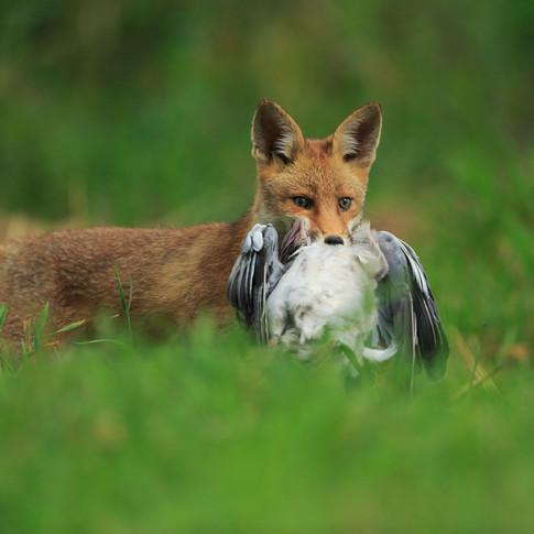 Le renard et la palombe