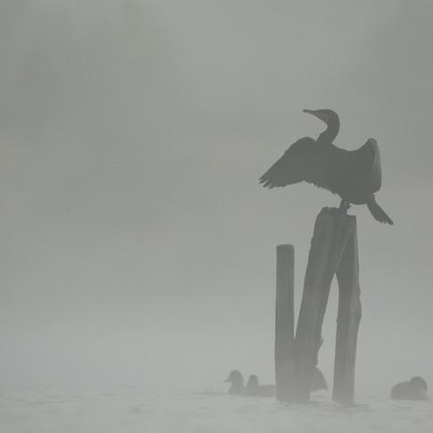 Dans la brume matinale (affût flottant)