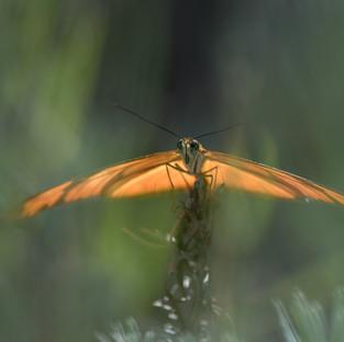 Dryas Julia. Heliconiidae