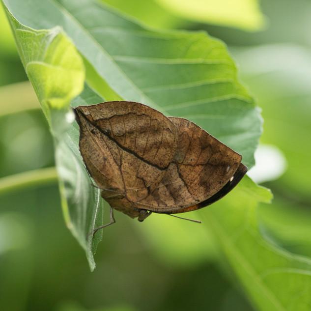 Le Papillon feuille Kallima inachus
