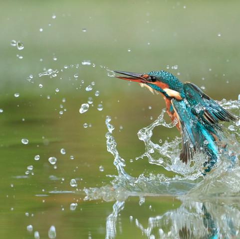 Martin pêcheur femelle