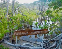 Red Mangrove plantation in Petit Carenag