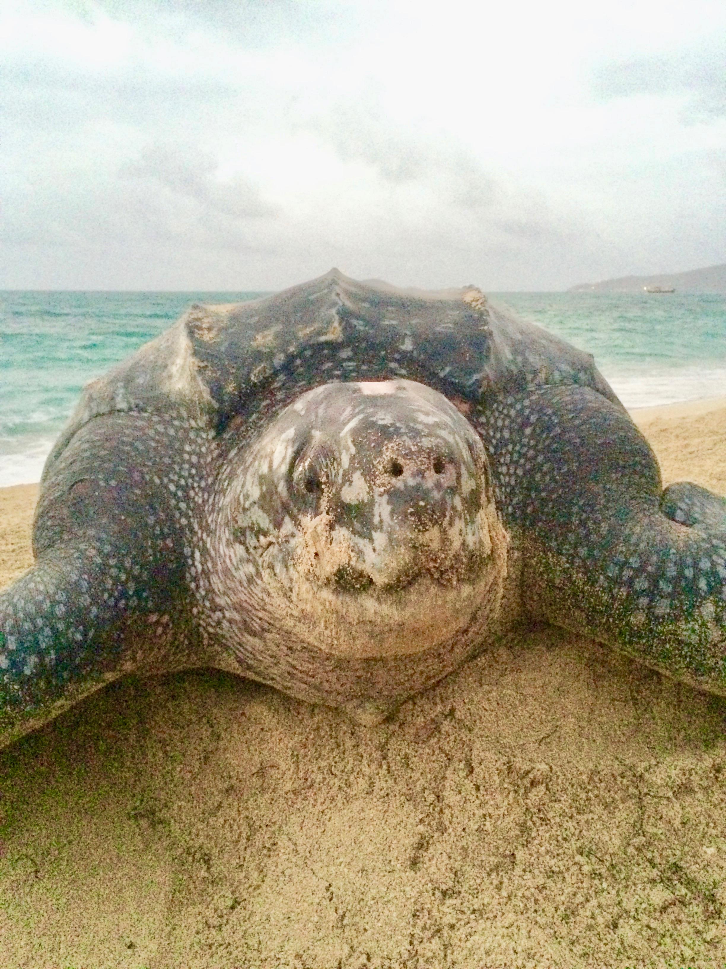 Post-nesting Leatherback in Petit Carena