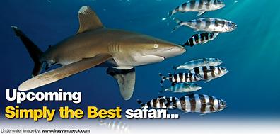 Bespoke Scuba Diving - Dagenham Essex - Red Sea Trip With Blue O Two - Oceanic White Tip