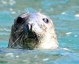 Bespoke Scuba, Dagenham Essex, Farnes Seal Image