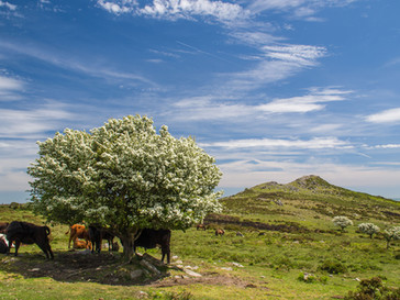 Grazing under the Hawthorn