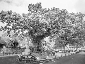 Meavy Oak