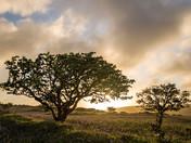 Hawthorns at Sunrise