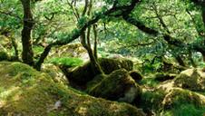 Wistmans Wood in Summer