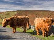 Highland Pair