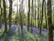 Shadows in the Bluebells