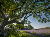 Emsworthy Oak