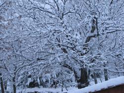Cerisier en hiver