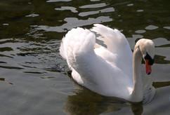 swan-605858.jpg