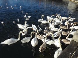 swan-213511.jpg