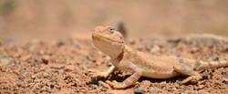 Desert_Lizard_in_Azraq_Jordan_edited.jpg