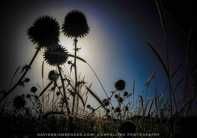 'Sharp Shadows' - a field of  #thistles