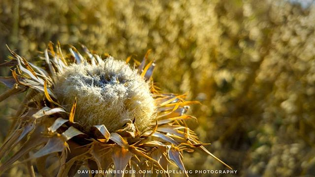 'Golden Oldie' - a dried #thistle basks