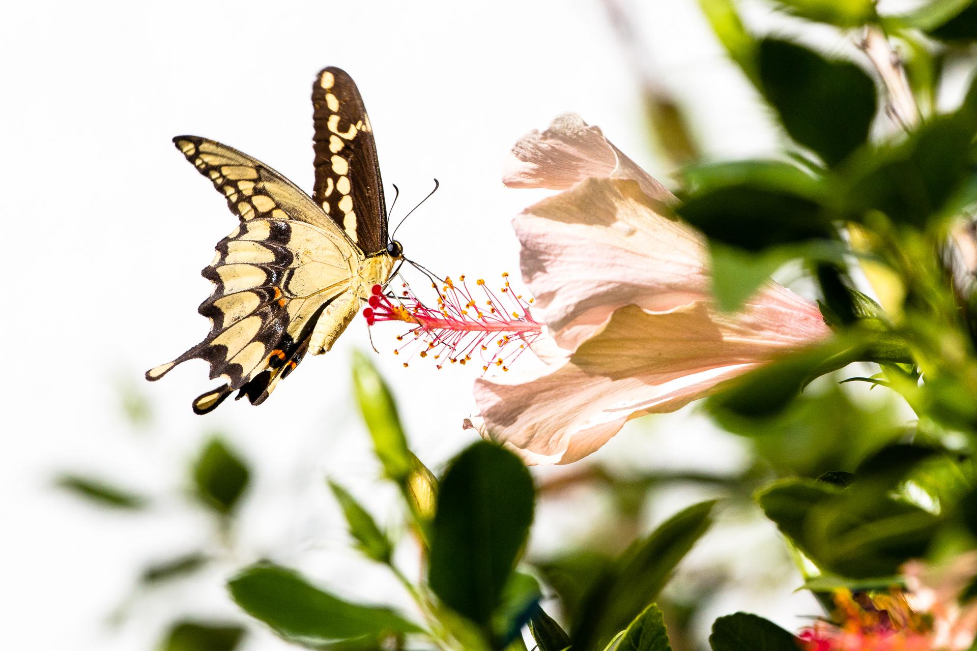 swb_butterfly