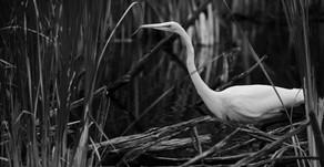 Invasive Phragmite Reeds & the Wetlands of Tomorrow