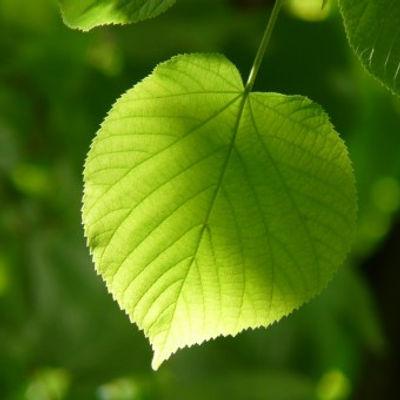 leaf_individually_linde_lipovina_foliage