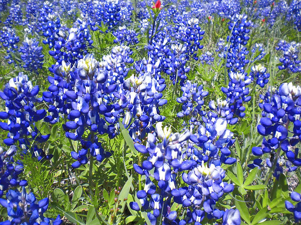 Bluebonnets_edited.jpg